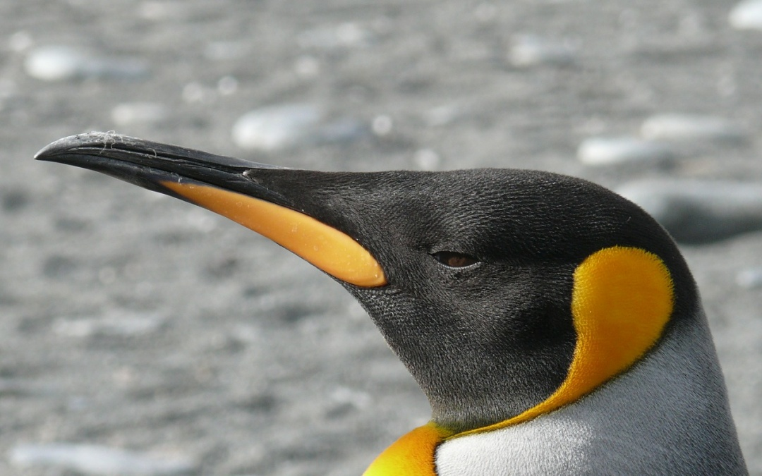 Pingwin 3.0 – cisza po burzy